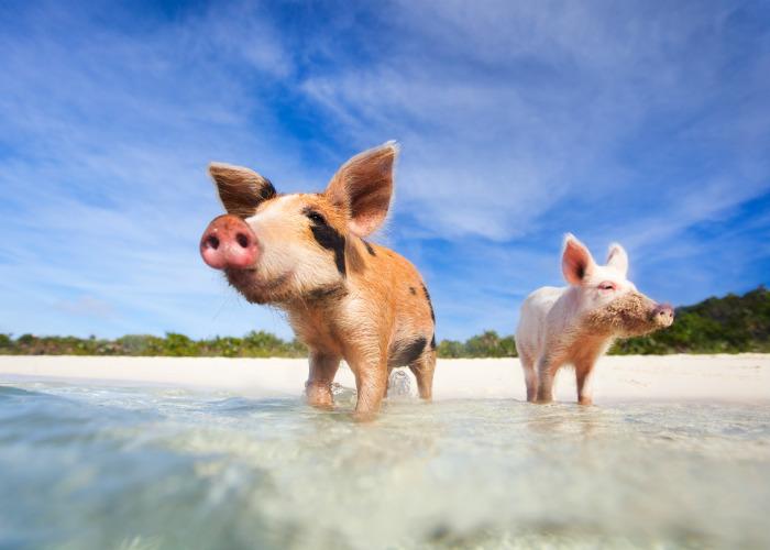 Bahamas yacht charter - Exumas pigs