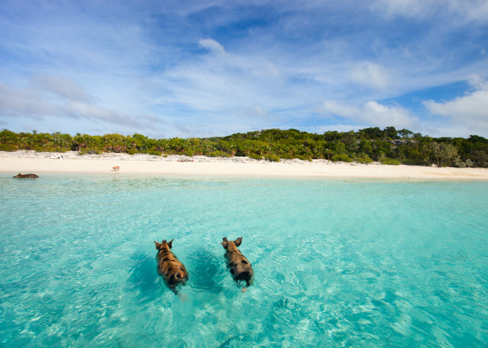 Bahamas yacht charter - swimming pigs