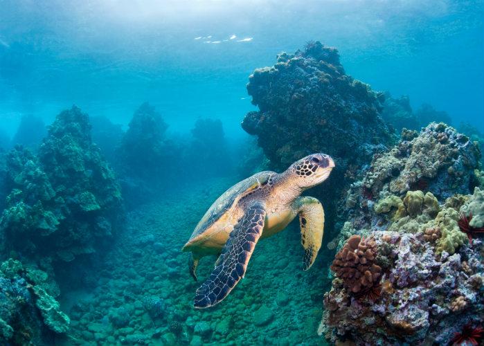 Florida Keys Yacht Charter Snorkeling on Hawaiian Green Sea Turtle