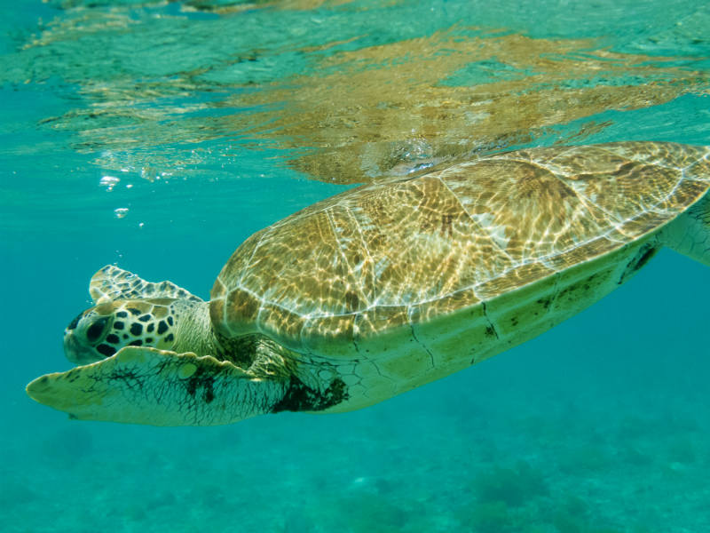 Grenadines yacht charter guide - turtle sanctuary